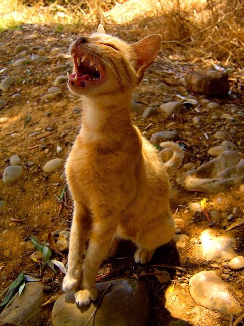 Ruda kotka w Maroko. Rabat