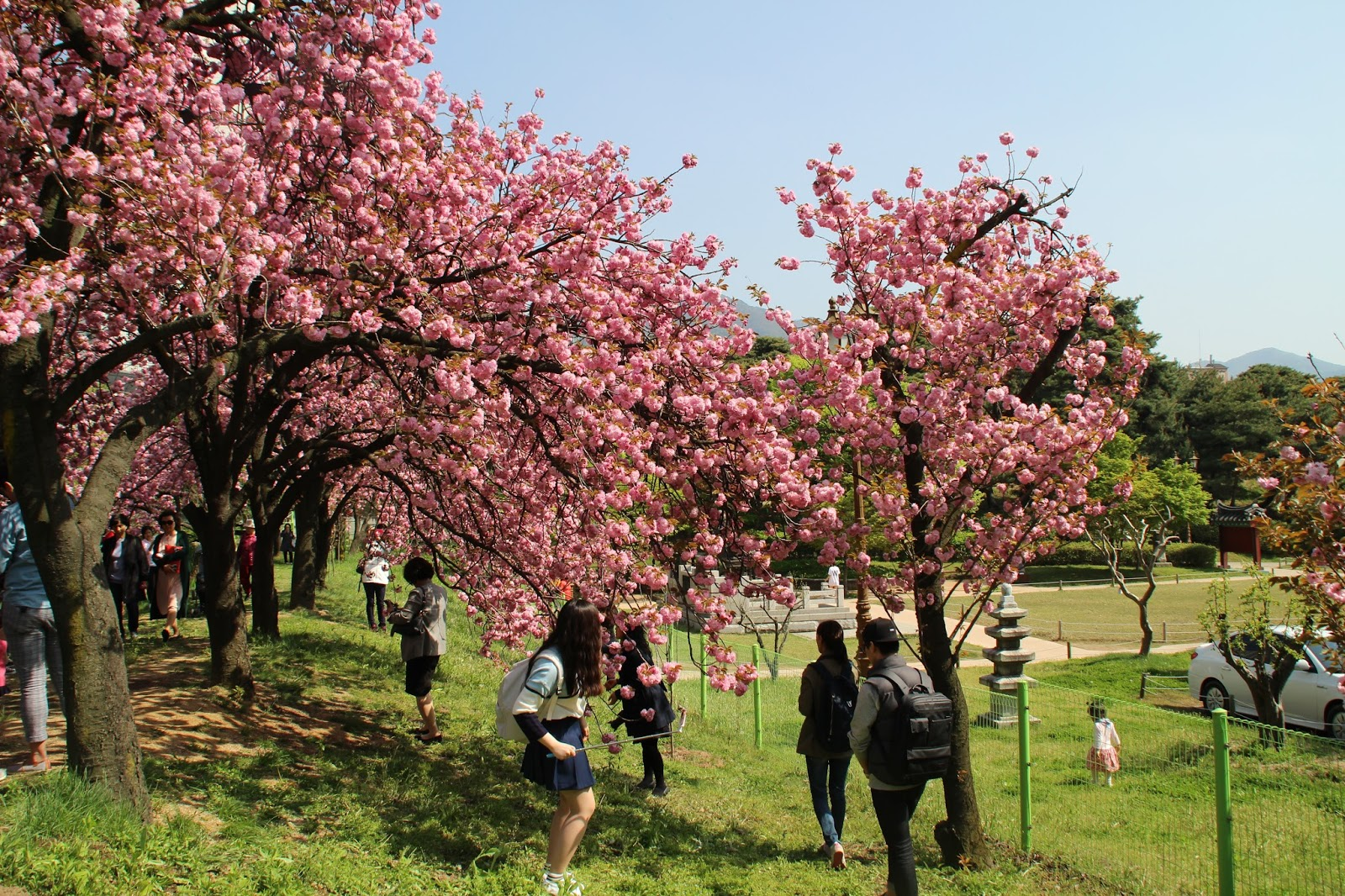 Fun free daegu travel king cherry blossom tunnel of wolgok history park with history museum - Romanian cherry tree varieties ...