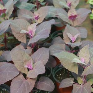 http://www.cantinhodasaromaticas.pt/loja/plantas-em-vaso-bio/espinafre-roxo-orach/