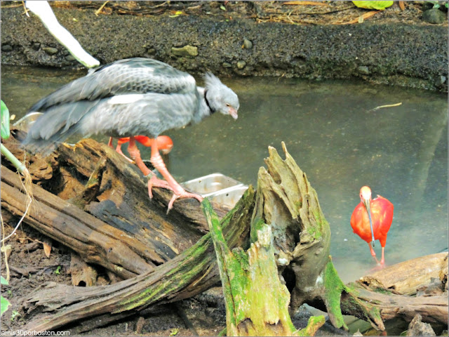 Selva Tropical del Biodôme: Chajá Y Garza Roja