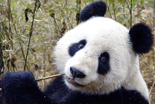 Giant Panda Bear Facts in China - Weird Interesting Facts - photo#4