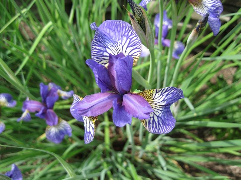 plants and stones siberian iris bloom order. Black Bedroom Furniture Sets. Home Design Ideas