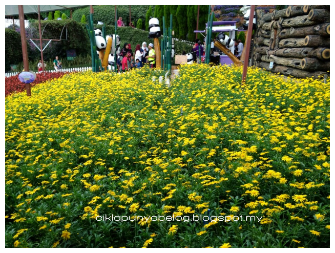 Jalan-jalan tengok bunga-bungaan berkembang mekar di Cameron Lavendar.