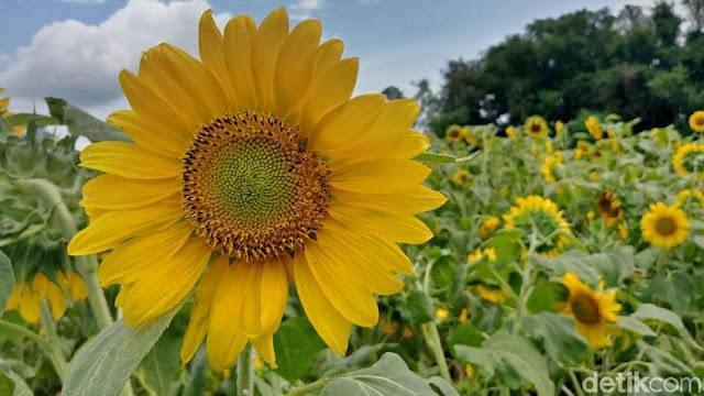 Mekarnya kebun bunga matahari kediri