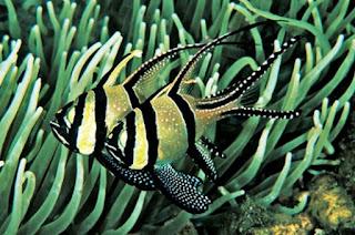 Jenis Ikan Hias Air Laut Banggai Fish