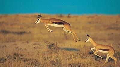 Springbok http://iboqq.com