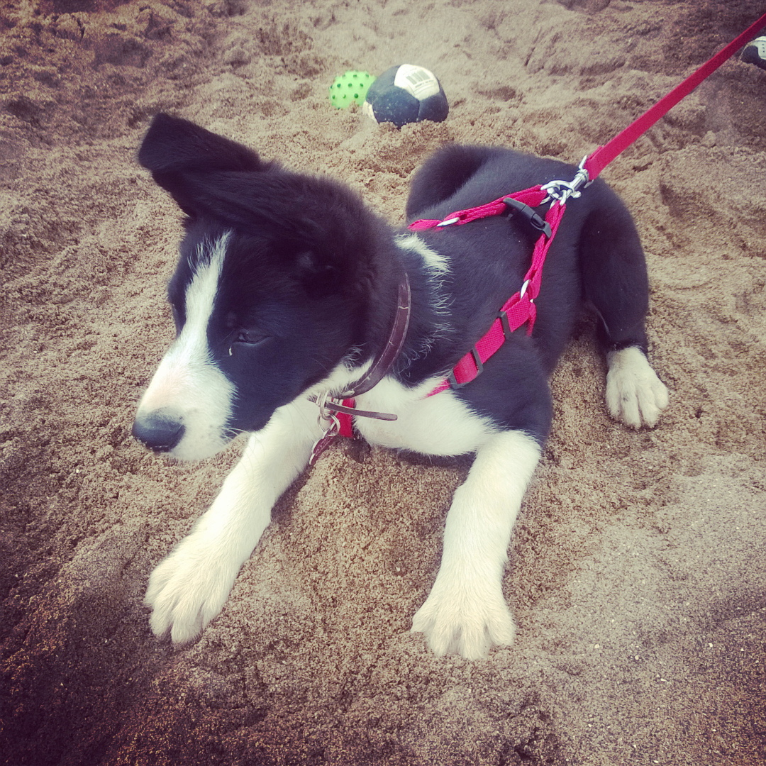 Mollie On The Beach: Mollie The Border Collie