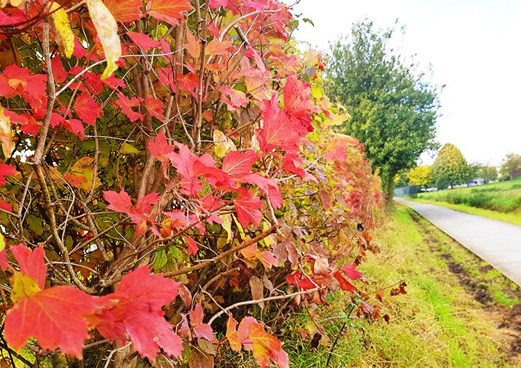 haies et feuilles en couleurs