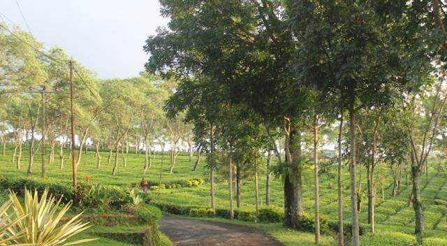 Wisata Kebun Teh