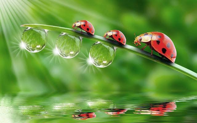 Lieveheersbeestjes op een blad boven het water