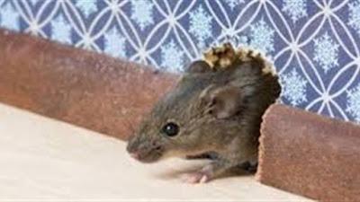 عـاجـل 🔴 فأر يدمر حياة أسرة بالمنوفية.