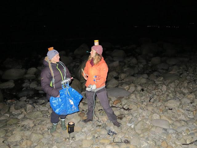 Kveldsplukk i mørket er gøy, ta med en lykt og noen venner! :)  Her med Ida og Helle på Selestranda (Jæren). @selebeachwatchers
