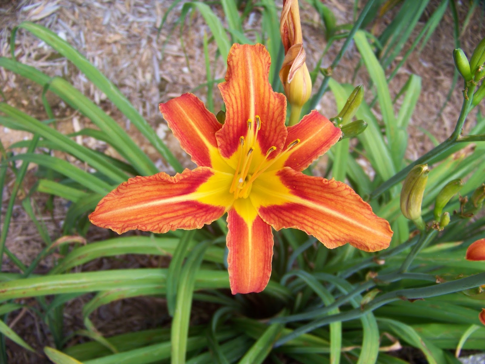 Daylilybreeder what is a daylily what is a daylily izmirmasajfo