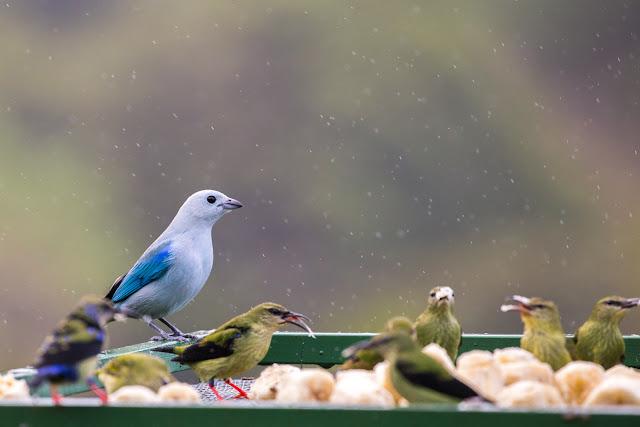 Pájaros en los comederos del Cloud Forest Lodge
