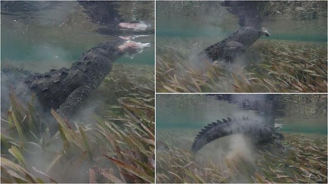 Crocodile attacks and escapes with chicken