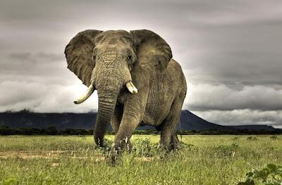 fil, en tehlikeli hayvanlar