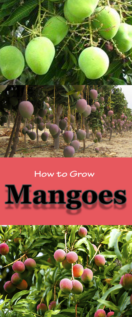 how to grow up mango from seed