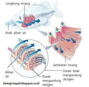 Sistem Pernapasan pada Hewan Pisces Lengkap