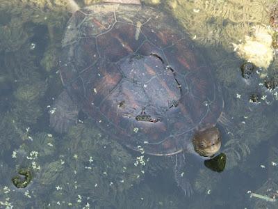 Caspian Turtle (Mauremys caspica