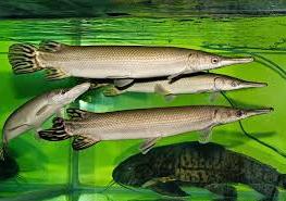 Kuba gar (Atractosteus tristoechus) dan ikan aligator terbesar