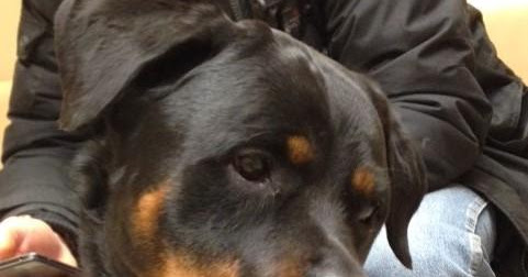 Adoption Monday: Saige, Rottweiler, Toronto, ON