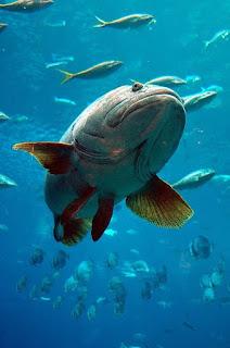 usia maksimal ikan