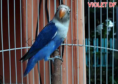 lovebird violet DF