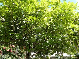 Citrus sp. - Pamplemoussier - Pamplemousse - Pomelo