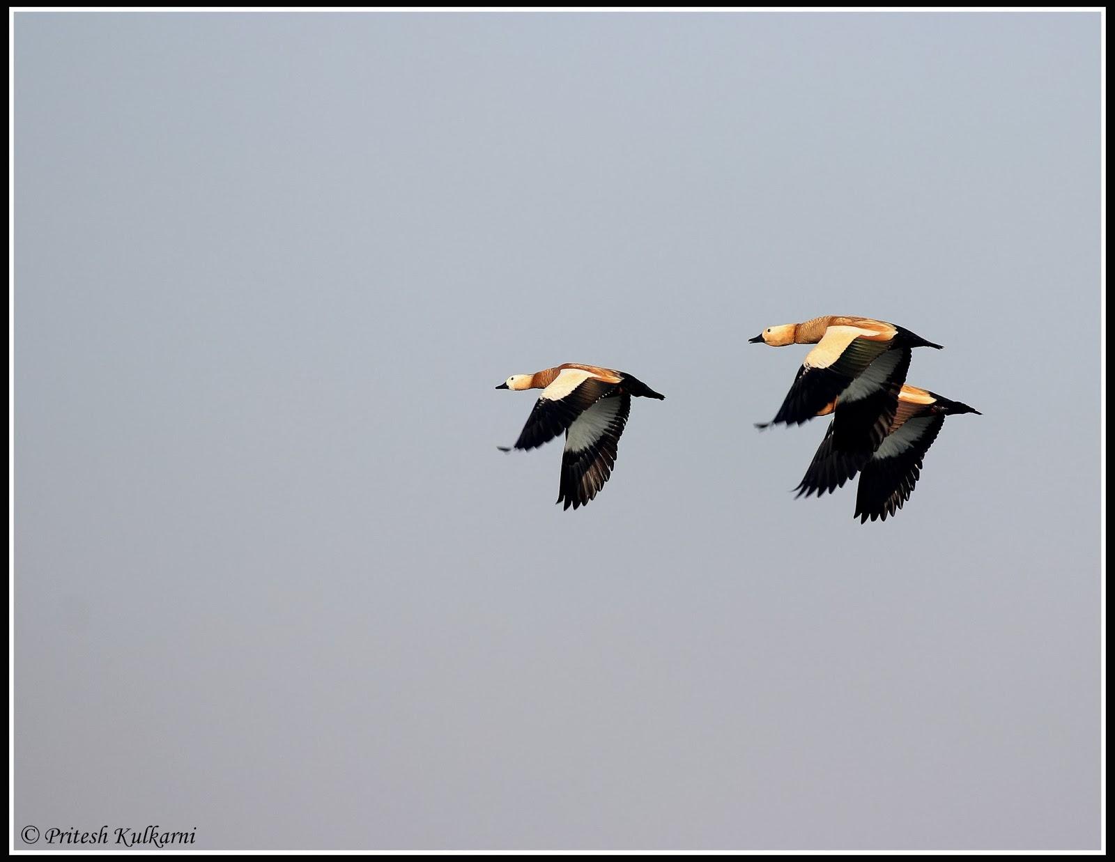 Brahminy Duck in Flight