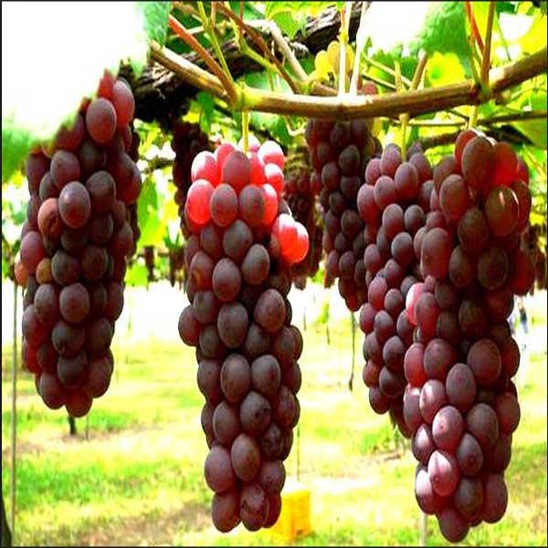 Manfaat Anggur Untuk Kesehatan, Khasiat Anggur Untuk Kesehatan, Manfaat dan Khasiat Anggur Untuk Kesehatan, 13 Manfaat dan Khasiat Anggur Untuk Kesehatan