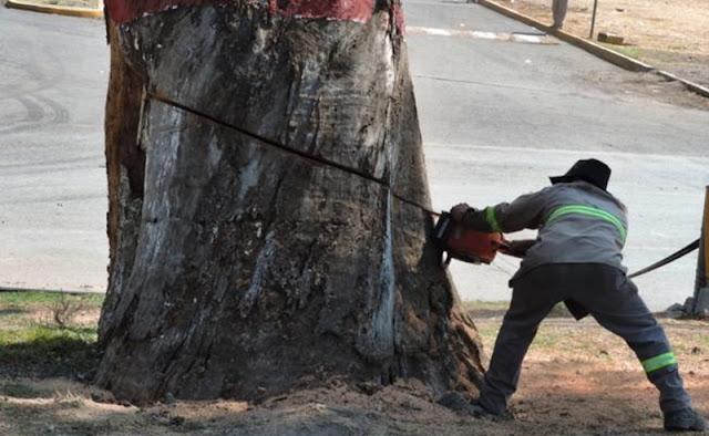 Talan árbol de más de 2 siglos de antigüedad en la CDMX