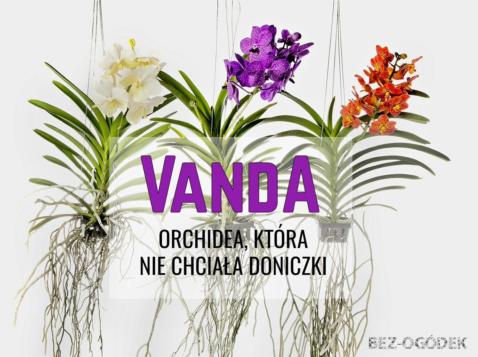 Storczyk Vanda Orchidea Która Nie Chciała Doniczki Bez
