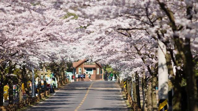 Ранняя весна - в Корее цветут деревья