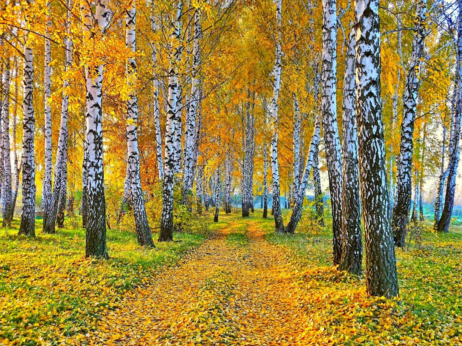 Achtergrond met berken bomen in de herfst