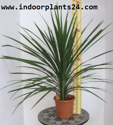 CORDYLINE AUSTRALIS indoor plant image