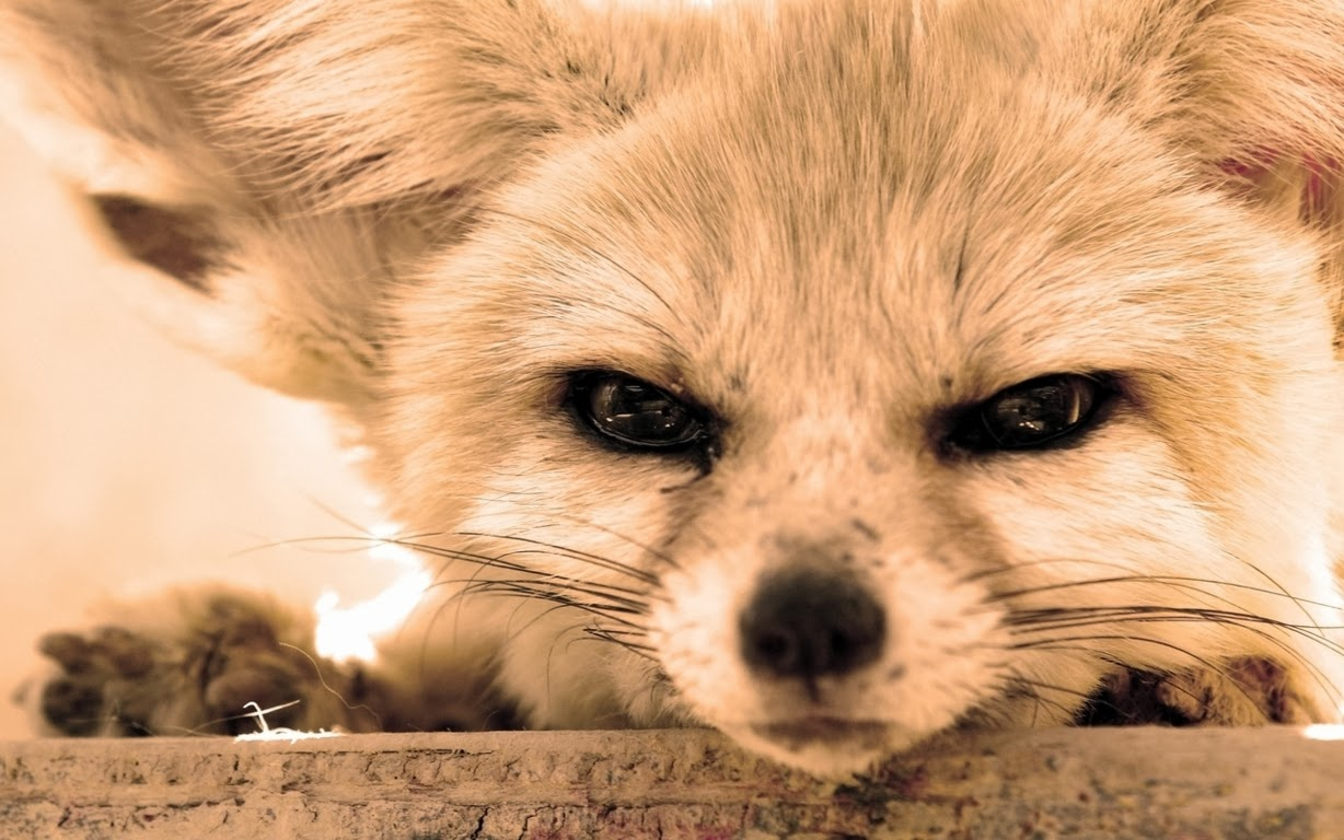 The Cunning Fennec Fox The Saker And The Cunning Fennec