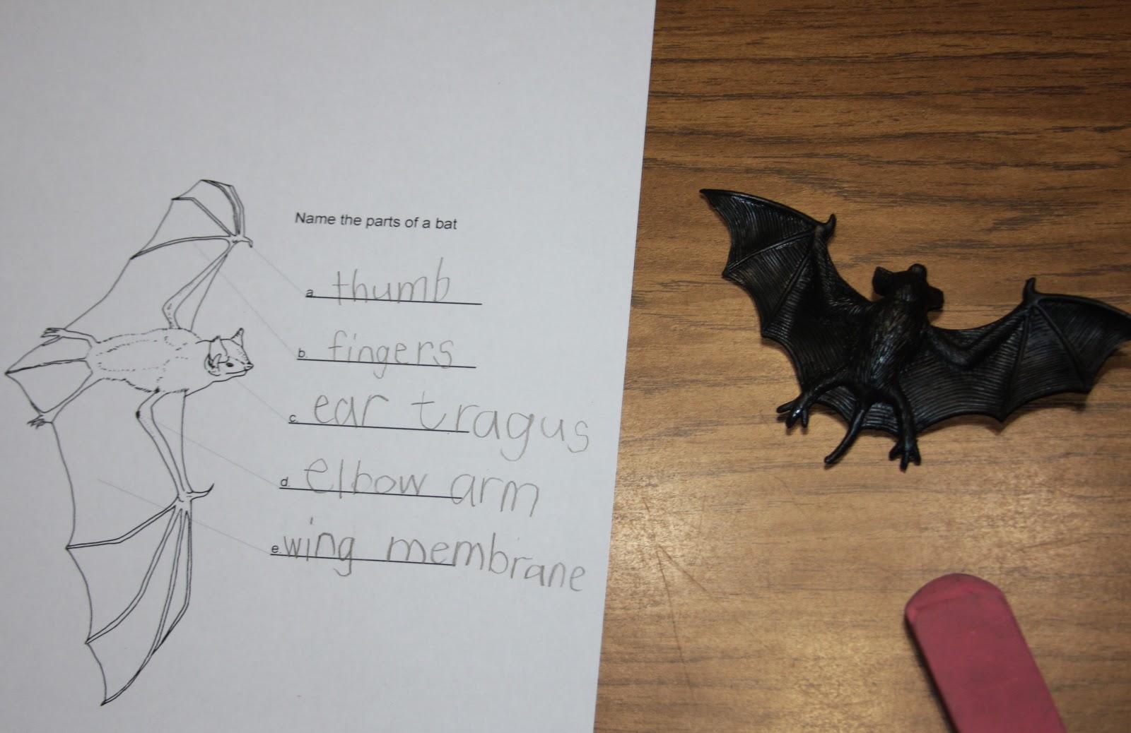 A Learning Journey Bat Unit Anatomy