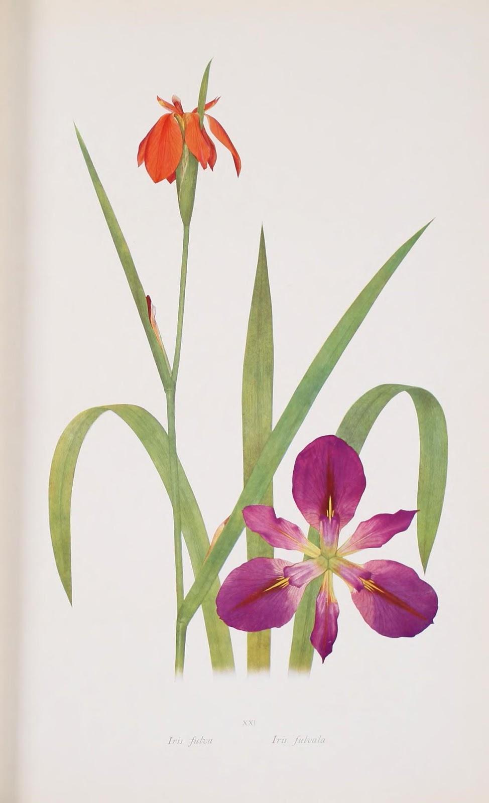 flores de lirios en color naranja y púrpura