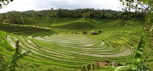 Wisata Desa Ambengan Rice Terrace Ambengan Singaraja Bali