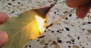 حرق ورق الغار