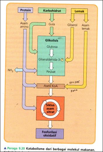 Keterkaitan Metabolisme Karbohidrat Lemak Dan Protein : keterkaitan, metabolisme, karbohidrat, lemak, protein, Download, Powerpoint, Materi, Keterkaitan, Antara, Proses, Metabolisme, Karbohidrat,, Protein, Lemak, BELAJAR, BIOLOGI