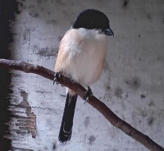 Burung Cendet- Berak Kapur yang Menyerang Burung Cendet dan Cara Penangannannya - Penangkaran Burung Cendet