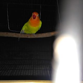 Cara merawat lovebird, lovebird gacor, lovebird fighter