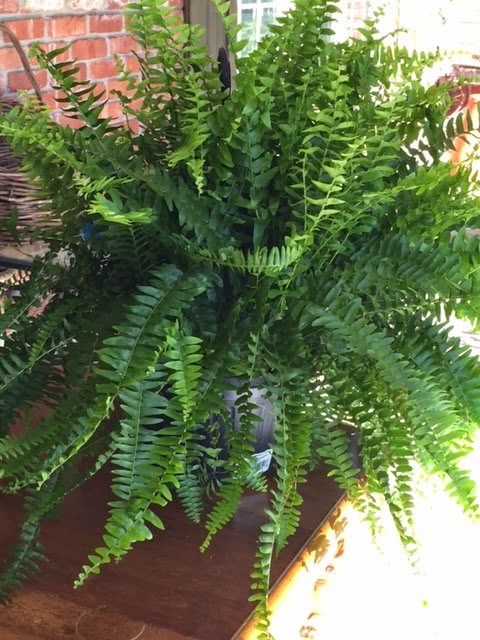 My Mother Always Grows The Gest Boston Ferns