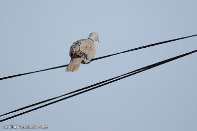 Tórtola turca sobre un cable