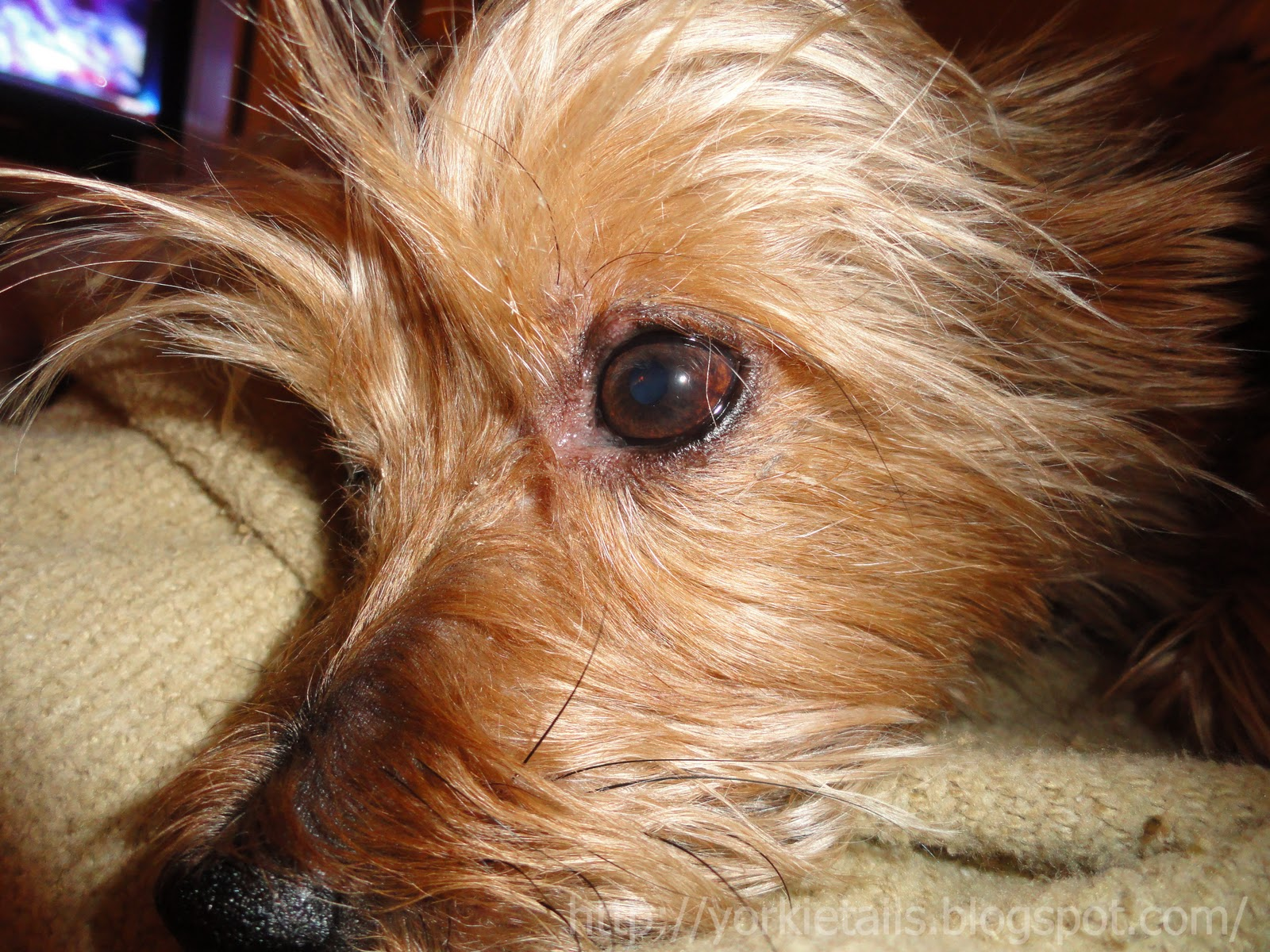 Viewing Gallery For - I Miss You YorkieI Miss You Yorkie