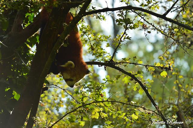 Panda roux d'Asie