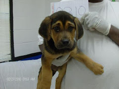 "2/27/11 Shepherd Mix: An adoptable dog in Rome, GA"" She is a baby."