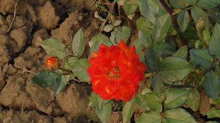 Rose Flower in National Rose Garden Delhi 2077