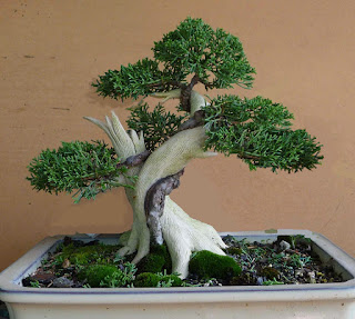 tanuki bonsai technique